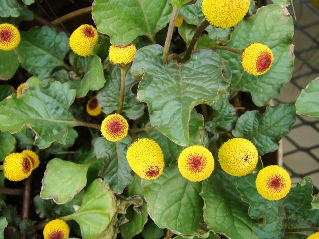 Fresh flowering para cress plant, spilanthes oleracea Premium Photo