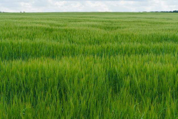 新鮮な緑のフィールドと青い曇り空 Premium写真