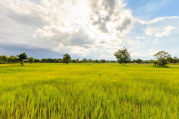 Fresh green paddy rice field in thailand Premium Photo