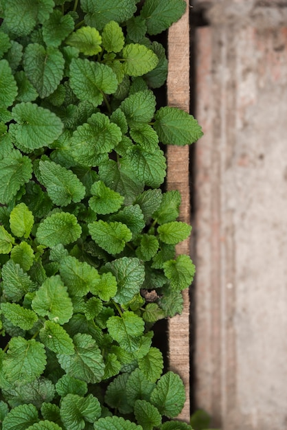 Fresh green paper mint leaves in greenhouse Free Photo