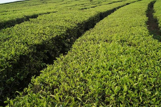 Fresh green tea fields Premium Photo