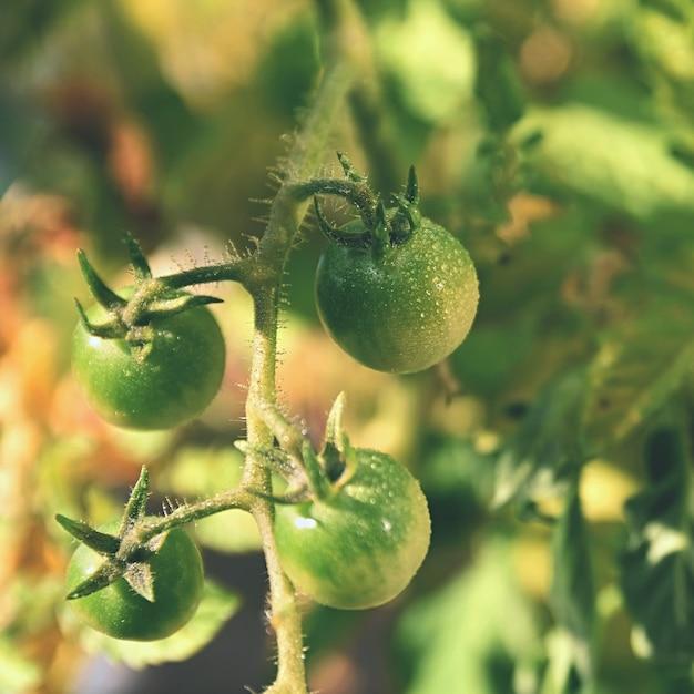 Fresh green tomatoes plants. flowering tomato. Free Photo