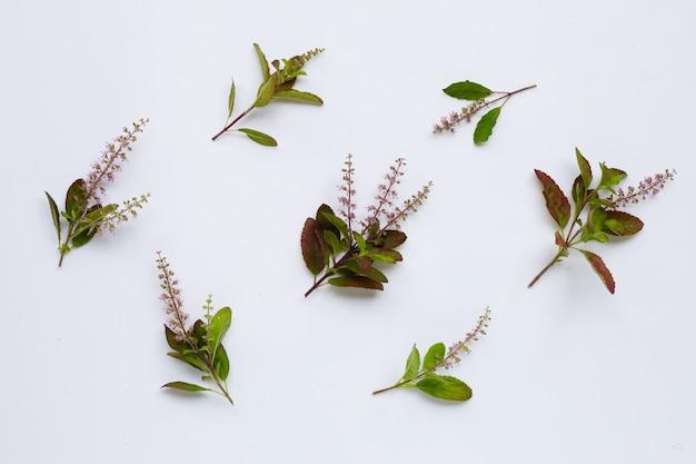 Свежие святые листья базилика с цветком Premium Фотографии