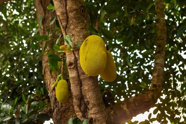 枝に新鮮なジャックフルーツ Premium写真