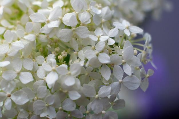 Fresh jasmine flower. closeup. Premium Photo