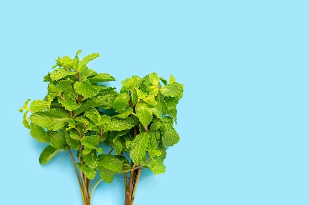 Fresh  mint leaves on blue background. Premium Photo