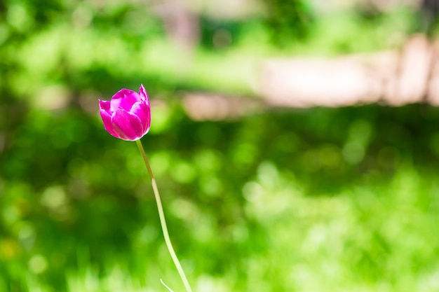 Fresh pink blooming tulip in spring garden Premium Photo