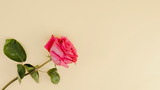 Fresh pink rose with copy space Free Photo