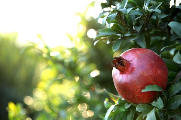 Fresh pomegranate on the tree Free Photo