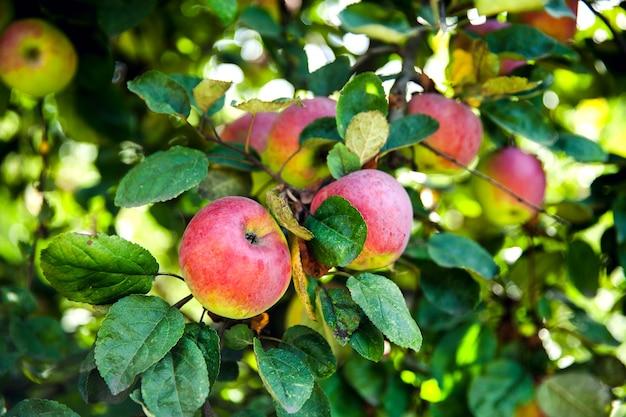 木の上の新鮮な赤いリンゴ Premium写真