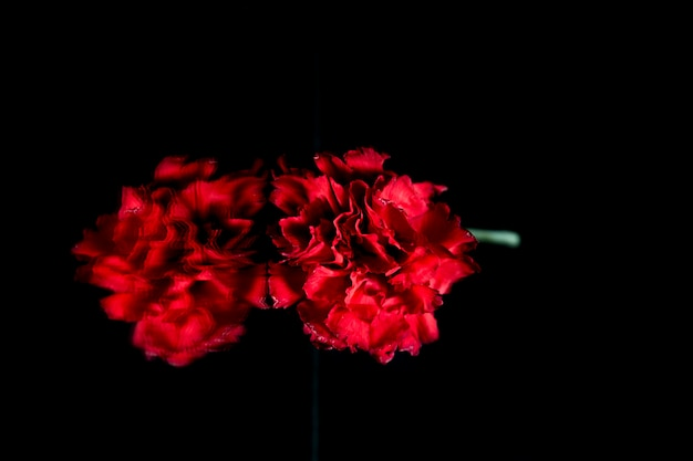 Fresh red carnation reflecting on glass over black background Free Photo