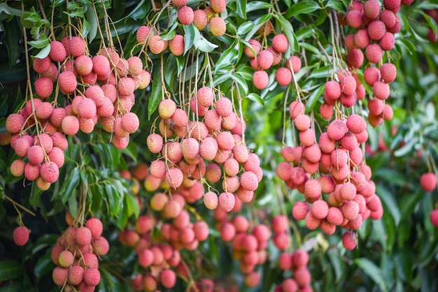 Fresh ripe lychee fruit hang on the lychee tree in the garden Premium Photo