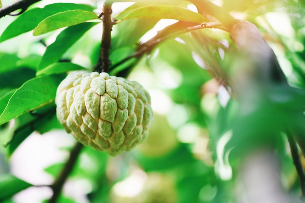 Fresh sugar apple on tree in the garden tropical fruit custard apple on nature green background - annona sweetsop Premium Photo