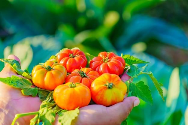 手にフレッシュトマト。庭からの有機トマト。 Premium写真