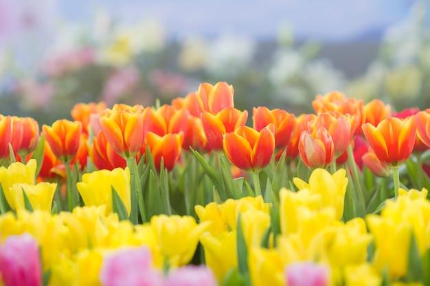 Fresh tulips in sunlight Premium Photo