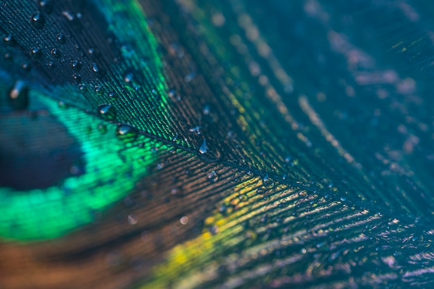 Fresh water drops on peacock feather abstract close-up background Premium Photo