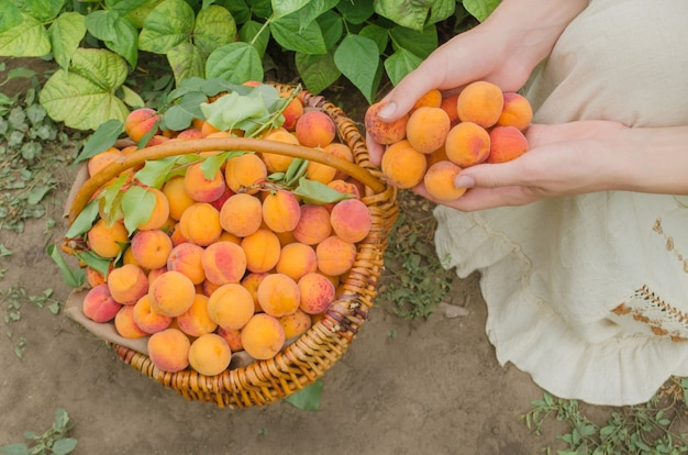 Freshly picked apricot fruit. apricots in basket Premium Photo