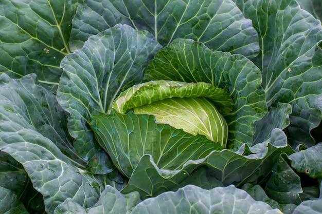 庭の青菜の鮮度。 Premium写真