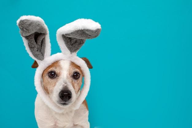 Frightened dog with rabbit ears Premium Photo