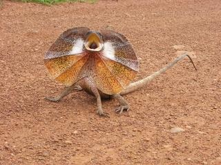Frill-necked lizard Free Photo
