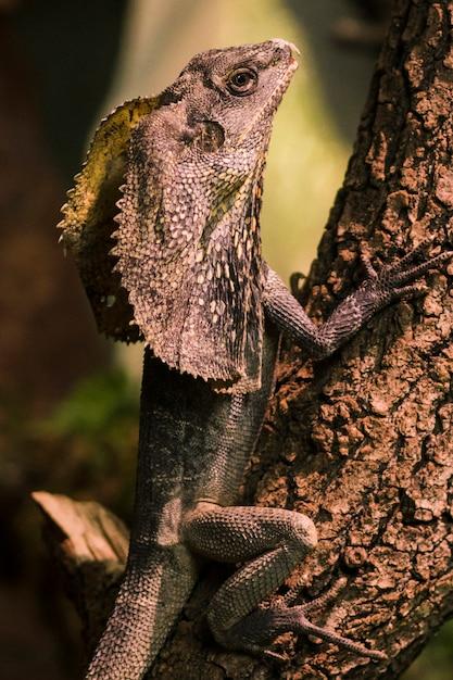 Frilled lizard Free Photo