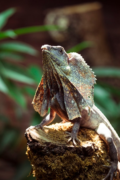 Frilled lizard Free Photo