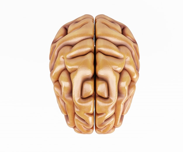 Front part of a brain Free Photo