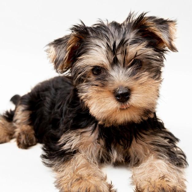 Vista frontale del cucciolo di cane adorabile yorkshire terrier Foto Gratuite