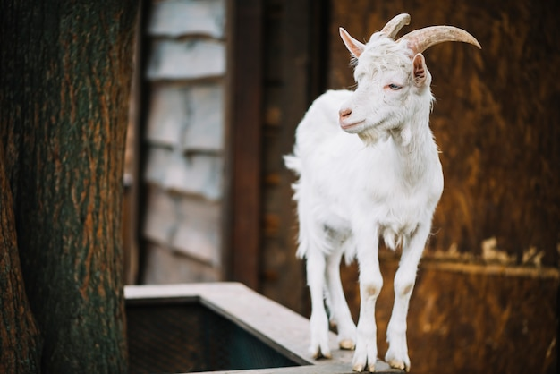 Front view of a baby goat looking away Free Photo