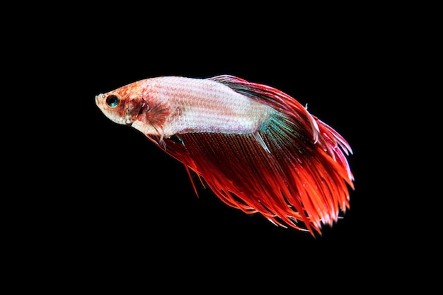 Front view beautiful betta fish isolated black background Free Photo
