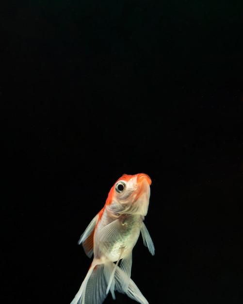 Вид спереди бетта рыбы с копией пространства Бесплатные Фотографии