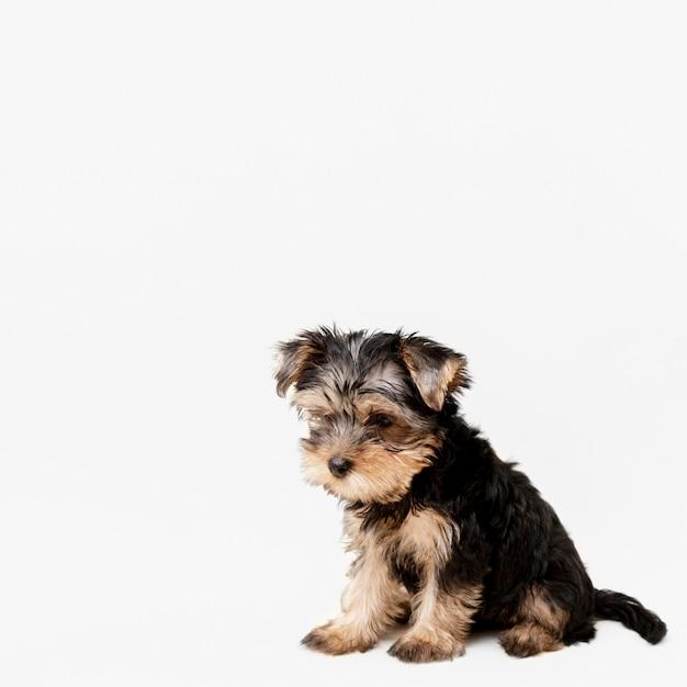 Vista frontale del cucciolo carino yorkshire terrier con copia spazio Foto Gratuite