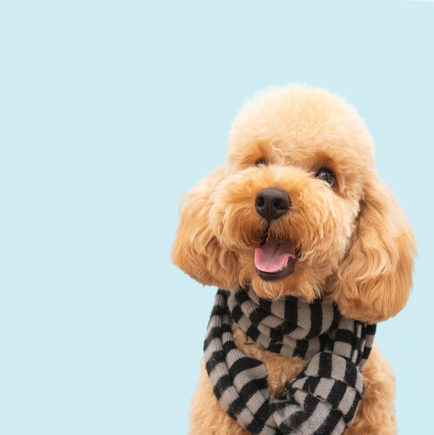 Front view domestic cute dog with scarf Premium Photo