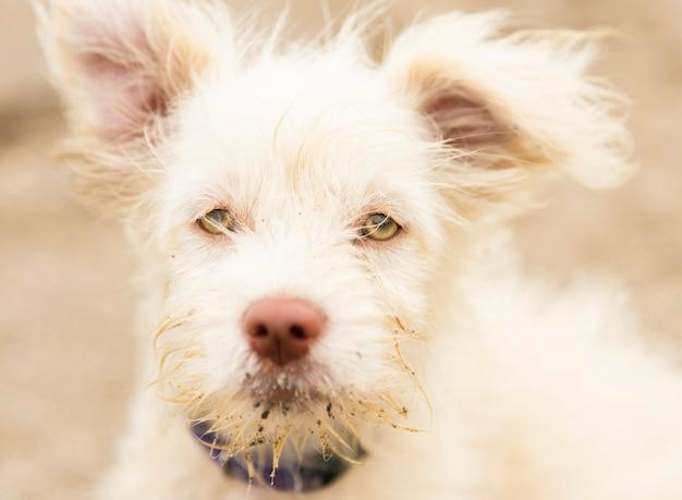 Vista frontale del lanuginoso russell terried cane Foto Gratuite
