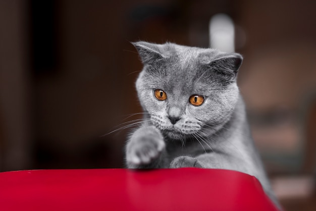 Front view of grey british shorthair cat Free Photo