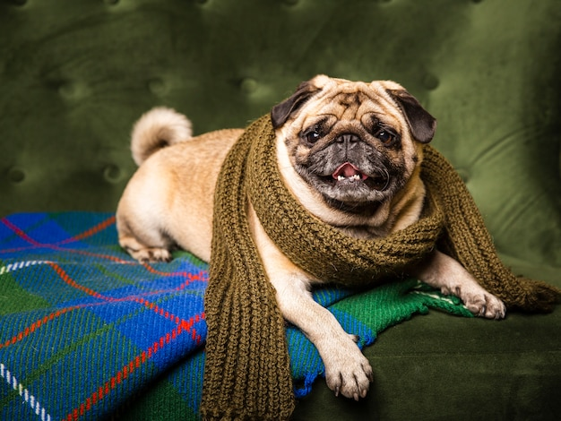 Front view lovely dog wearing scarf Free Photo
