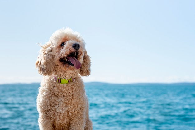 Front view poodle at seaside Free Photo