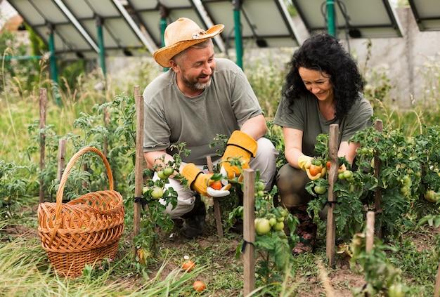 トマトを収穫する年配のカップルの正面図 Premium写真