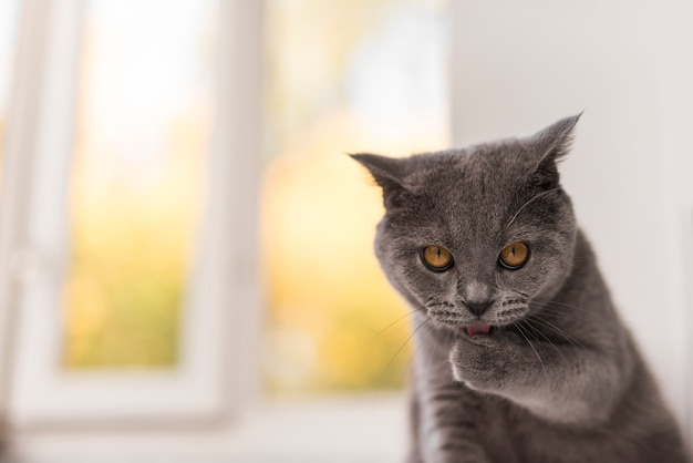 Front view of staring grey british shorthair cat Premium Photo