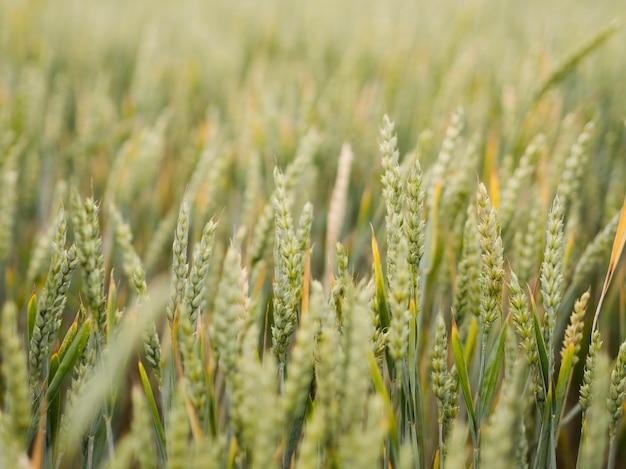 正面麦畑のクローズアップ Premium写真