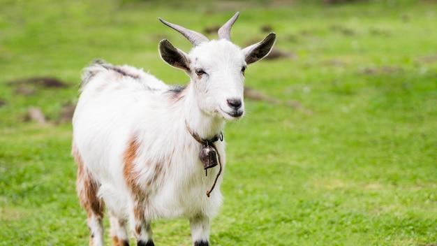 Front view white goat outdoors Premium Photo