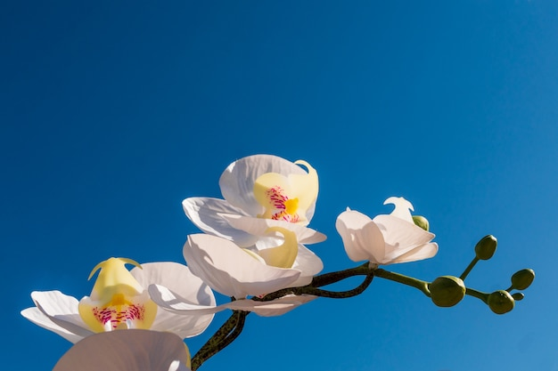 Front view of white orchid flower branch, on blue sky background. Premium Photo