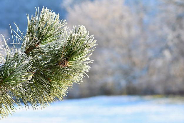 Frost and snow on branches. beautiful winter seasonal  background. photo of frozen nature. Free Photo