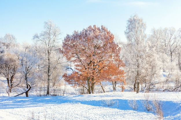 Frosty trees in snowy forest, cold weather in sunny morning in winter park Premium Photo