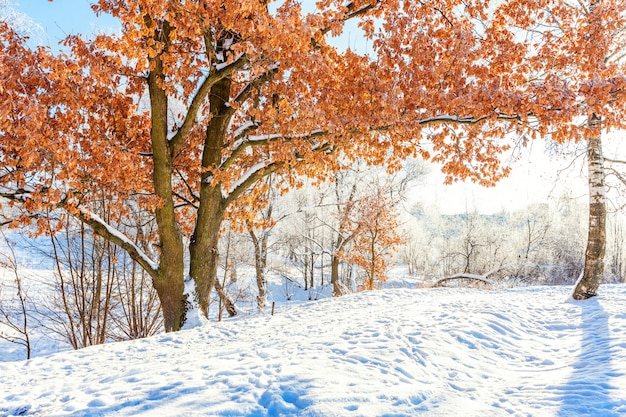 Frosty trees in snowy forest. cold weather in sunny morning Premium Photo