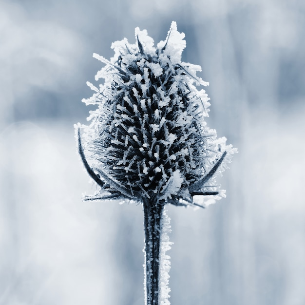 Frozen onopordum acanthium . beautiful winter seasonal natural background. Free Photo