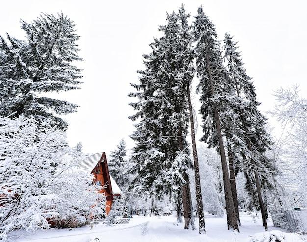 Frozen tall pine trees and small wooden house in vatra dornei village in romania Premium Photo