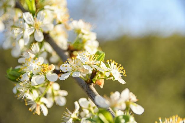 青空を背景に春に果樹が咲き、他の開花木 Premium写真
