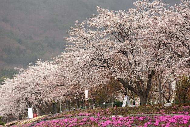 Full bloom cherry blossom with pink moss foreground at kawaguchiko north shore lake Premium Photo