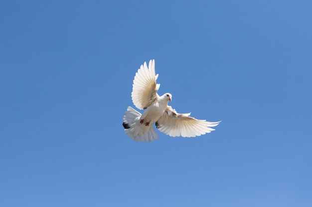 Full body of white feather homing pigeon flying against clear blue sky Premium Photo